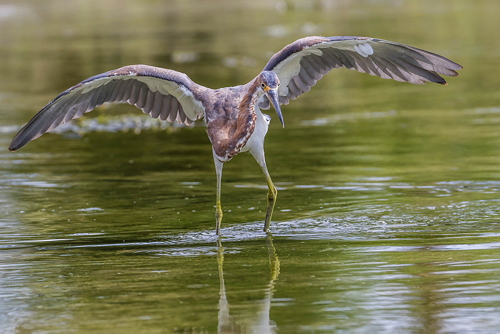 An adult tricolored heron (Egretta tricolor) stalking prey in a stream, San Jose del Cabo, Baja California Sur, Mexico, North America