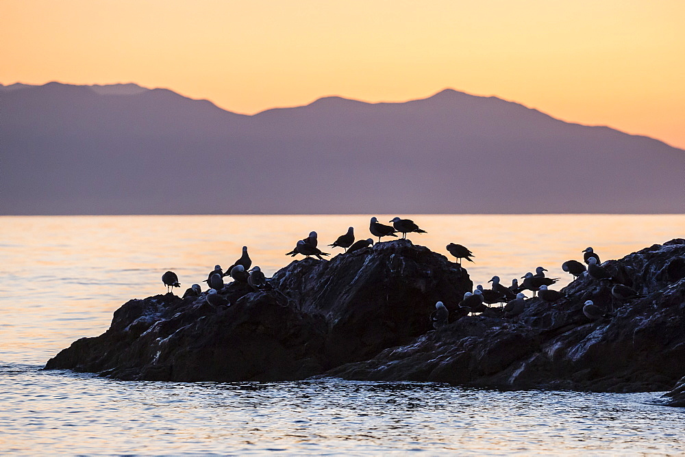 Heermann's gulls (Larus heermanni) at sunset on Isla Rasita, Baja California, Mexico, North America