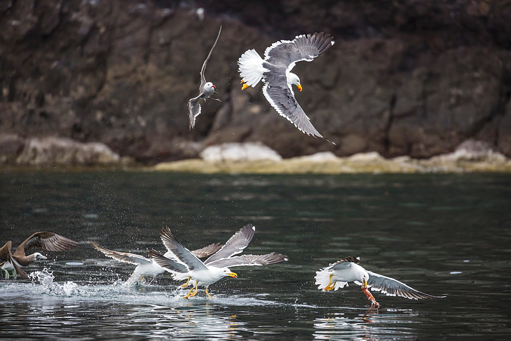 Yellow-footed gulls (Larus livens) and Heermann's gulls (Larus heermanni) fight for a squid on Isla Ildefonso, Mexico, North America
