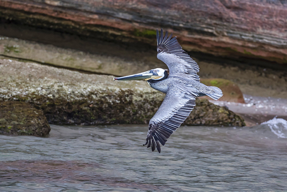 An adult brown pelican (Pelecanus occidentalis) in flight at Punta Colorado, Isla San Jose, Baja California Sur, Mexico, North America