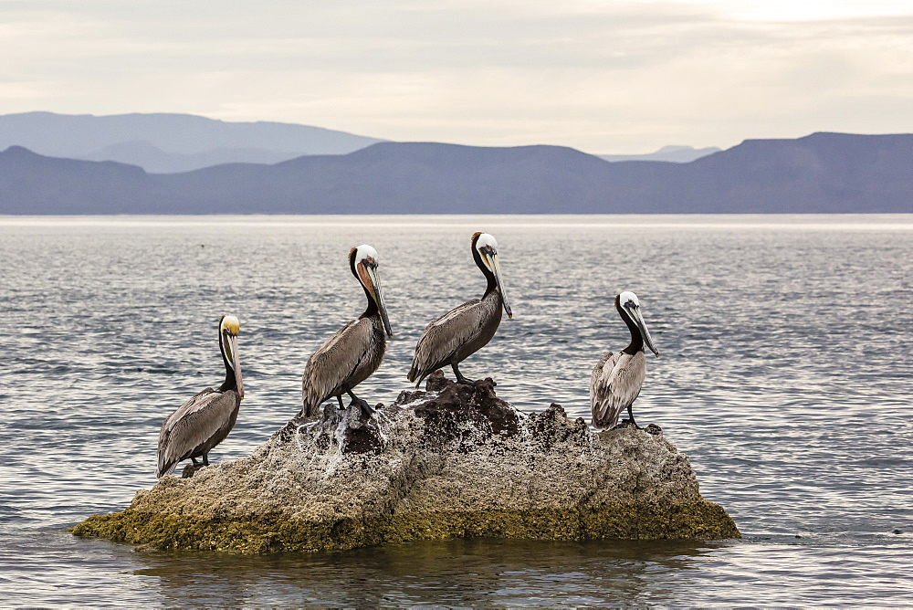 Adult brown pelicans (Pelecanus occidentalis), Isla Ildefonso, Baja California Sur, Mexico, North America