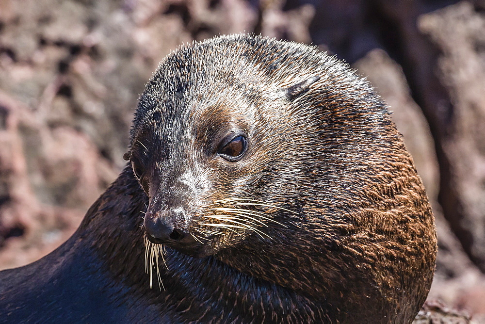 Adult male Guadalupe fur seal (Arctocephalus townsendi), hauled out on Isla San Pedro Martir, Baja California, Mexico, North America