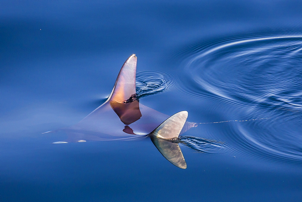 Mobula, Mobula spp, with wingtips above the surface near Isla Danzante, Baja California Sur, Mexico, North America
