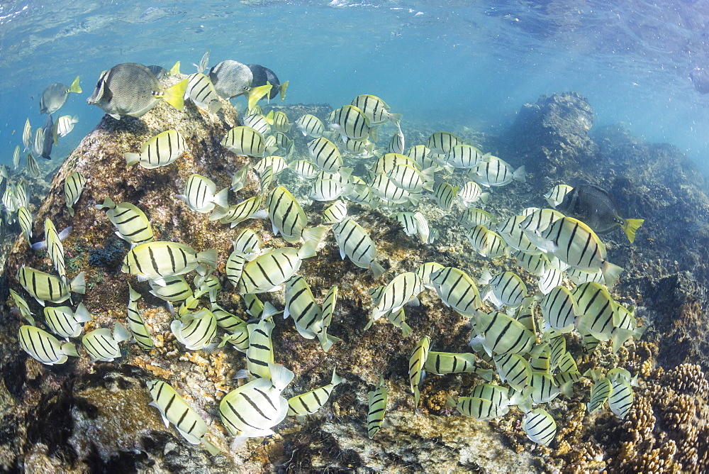 A large school of convict tang (Acanthurus triostegus) on the only living reef in the Sea of Cortez, Cabo Pulmo, Baja California Sur, Mexico, North America