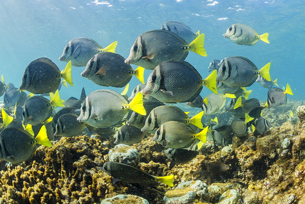 A large school of yellowtail surgeonfish (Prionurus punctatus) on the only living reef in the Sea of Cortez, Cabo Pulmo, Baja California Sur, Mexico, North America