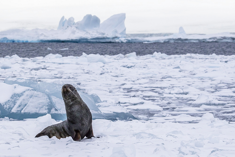 Adult bull Antarctic fur seal (Arctocephalus gazella), hauled out on first year sea ice in the Weddell Sea, Antarctica, Polar Regions