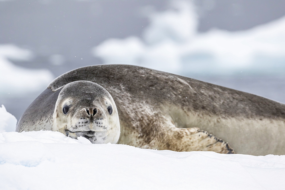 Adult leopard seal (Hydrurga leptonyx), hauled out on ice in Buls' Bay, Brabant Island, Antarctica, Polar Regions