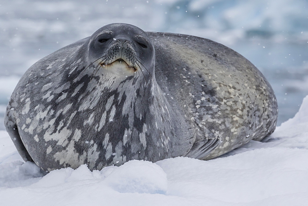 Adult Weddell seal (Leptonychotes weddellii), hauled out on ice in Buls' Bay, Brabant Island, Antarctica, Polar Regions