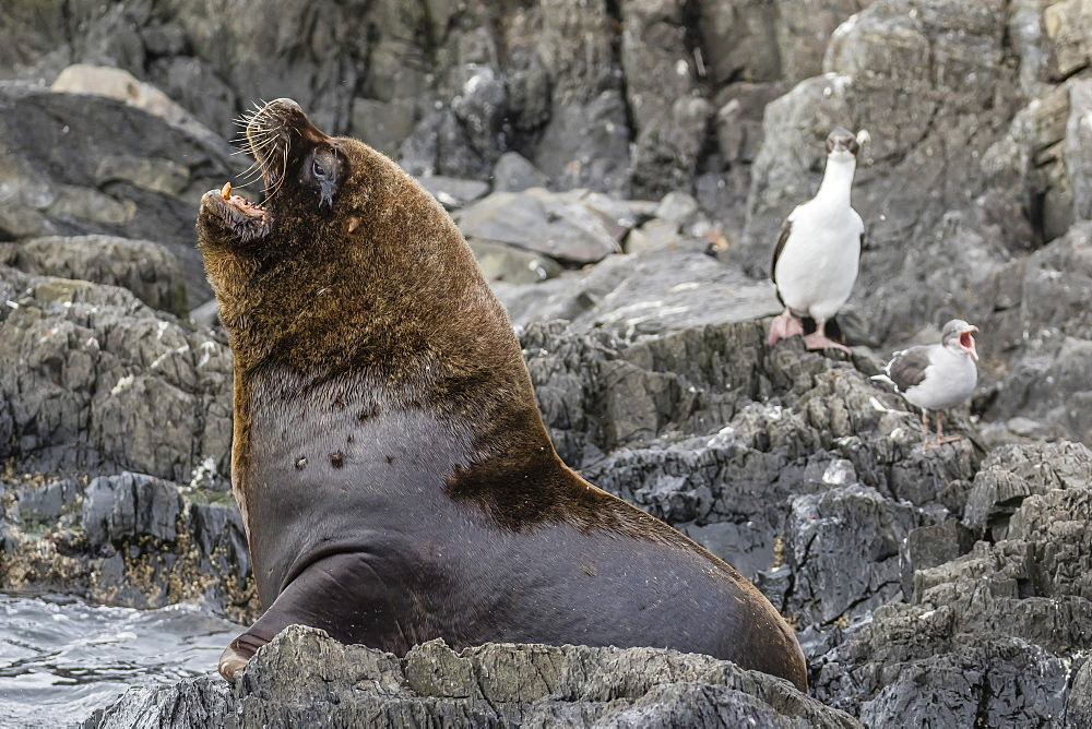 South American sea lion bull (Otaria flavescens) at breeding colony just outside Ushuaia, Beagle Channel, Argentina, South America