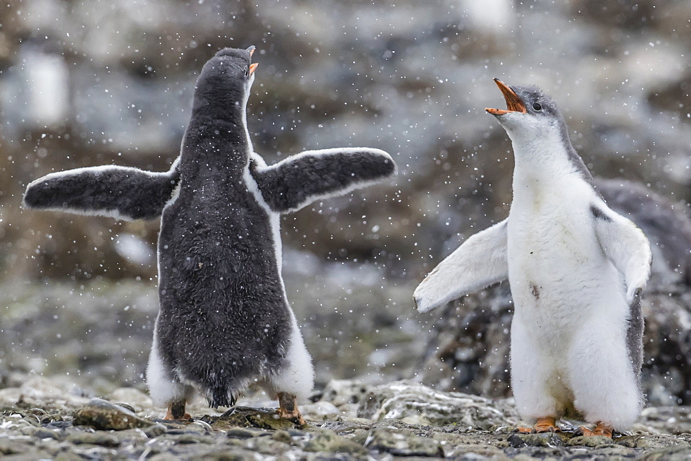 Gentoo penguin chicks (Pygoscelis papua) in ecstatic display at Brown Bluff, Antarctica, Polar Regions