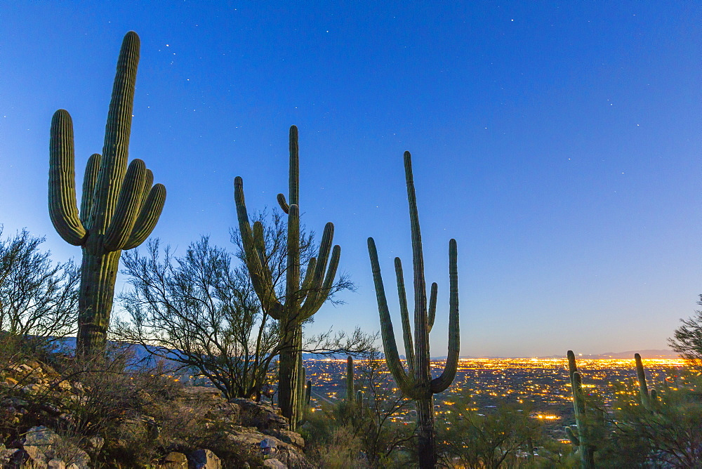 Giant saguaro cactus (Carnegiea gigantea), under stars in the pre-dawn light, Santa Catalina Mountains, Tucson, Arizona, United States of America, North America