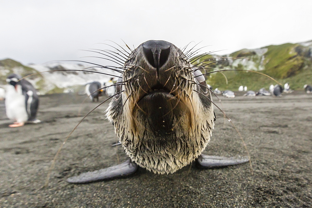 A curious young Antarctic fur seal (Arctocephalus gazella), Gold Harbour, South Georgia, Polar Regions