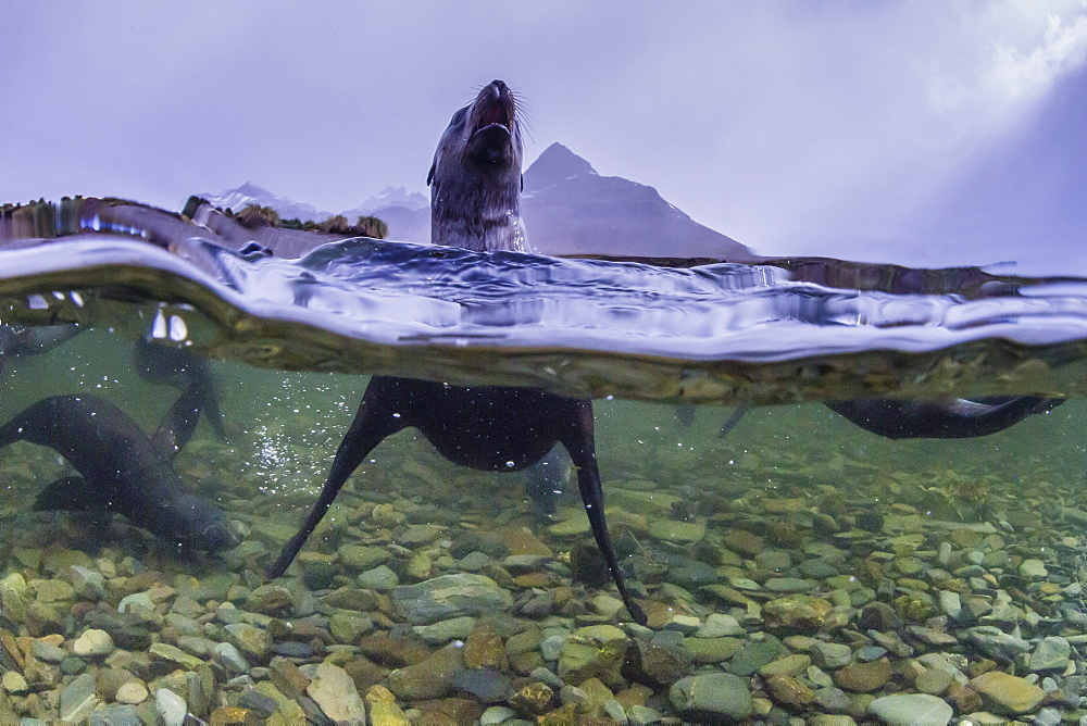 Antarctica fur seal pup (Arctocephalus gazella), above and below underwater in Husvik Bay, South Georgia, Polar Regions