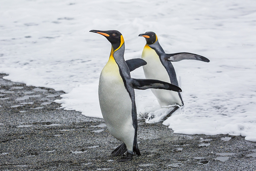 Adult king penguins (Aptenodytes patagonicus) returning from sea at St. Andrews Bay, South Georgia, Polar Regions