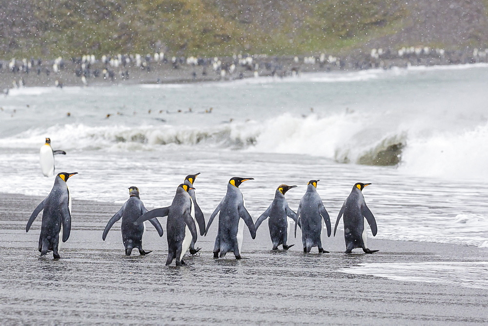 Adult king penguins (Aptenodytes patagonicus) going to sea at St. Andrews Bay, South Georgia, Polar Regions