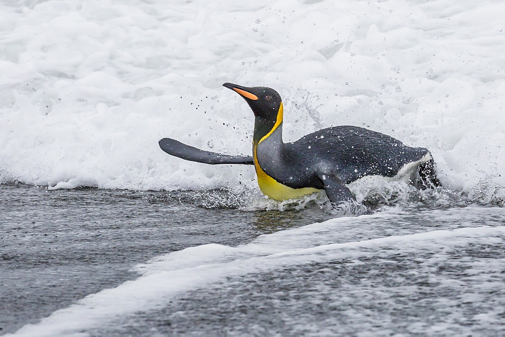 Adult king penguin (Aptenodytes patagonicus) returning from sea at St. Andrews Bay, South Georgia, Polar Regions