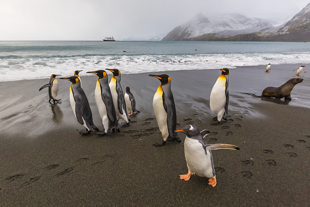 Gentoo penguins (Pygoscelis papua) amongst king penguins on the beach at Gold Harbour, South Georgia, Polar Regions