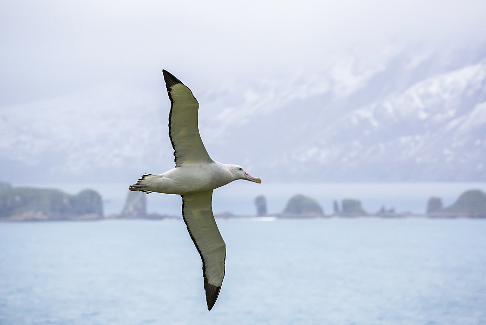 An adult wandering albatross (Diomedea exulans) in flight near Prion Island, South Georgia, Polar Regions