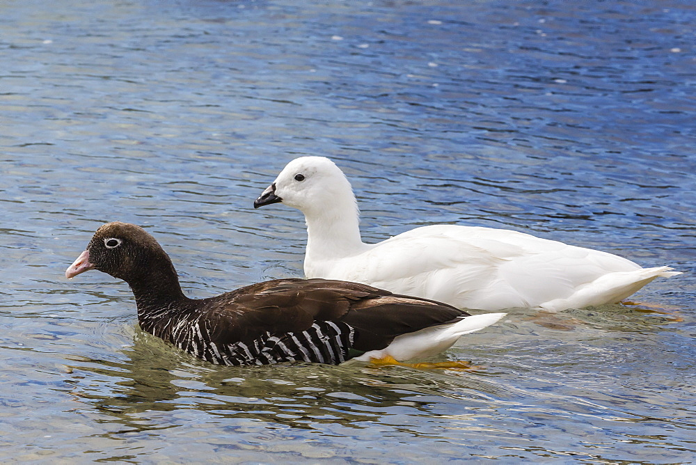 Adult kelp goose pair (Chloephaga hybrida), female in front, New Island Nature Reserve, Falkland Islands, South America
