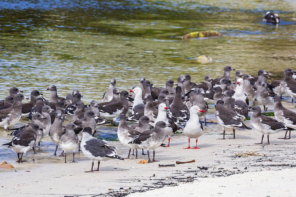 Adult dolphin gulls (Leucophaeus scoresbii) amongst chick creche, New Island Nature Reserve, Falkland Islands, South America