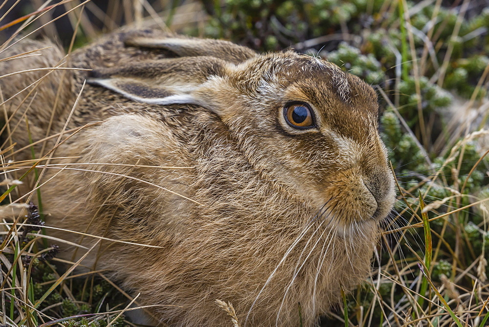 The introduced and very invasive European rabbit (Oryctolagus cuniculus), outside Stanley, Falkland Islands, South America