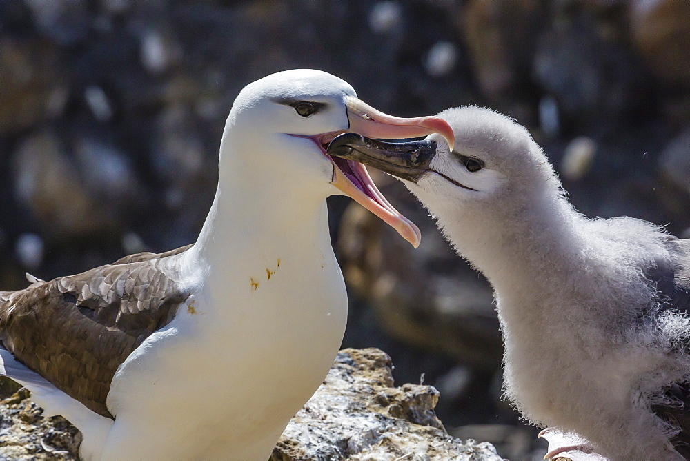 Adult black-browed albatross (Thalassarche melanophris) feeding chick in the New Island Nature Reserve, Falkland Islands, South America