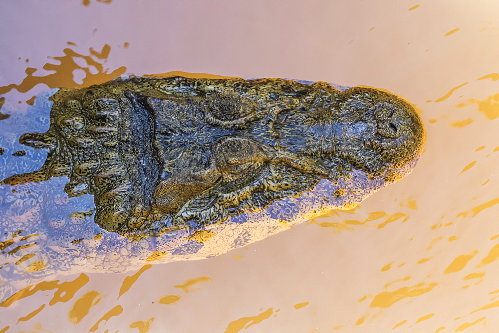 Adult Yacare caiman (Caiman yacare), head detail, within Iguazu Falls National Park, Misiones, Argentina, South America