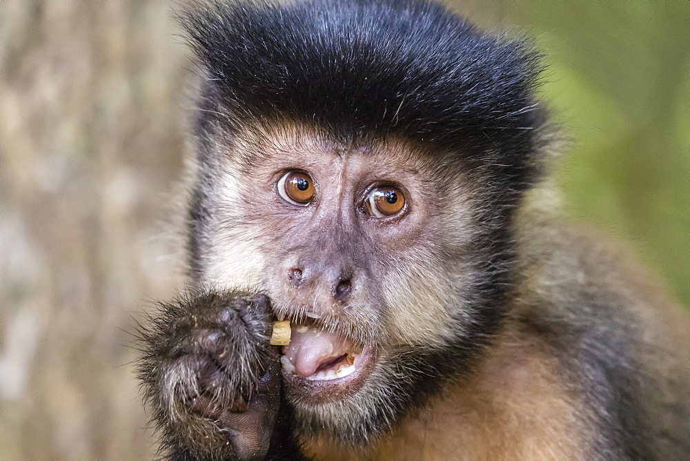 Adult black capuchin (Sapajus nigritus) head detail, Iguazu Falls National Park, Misiones, Argentina, South America