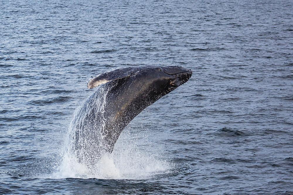 Humpback whale (Megaptera novaeangliae) breaching off Gwaii Haanas, Haida Gwaii, British Columbia, Canada, North America