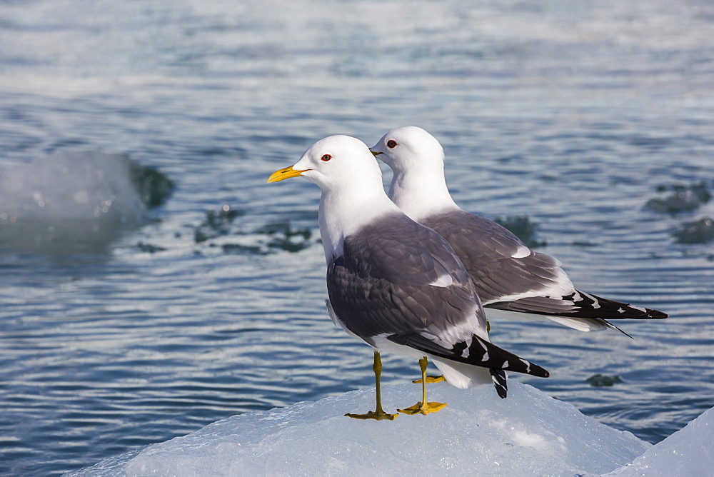 Adult mew gulls (Larus canus) on ice in Tracy Arm-Fords Terror Wilderness Area, Southeast Alaska, United States of America, North America
