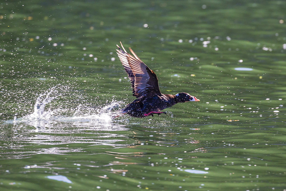 Adult male surf scoter (Melanitta perspicillata) taking flight in Williams Cove, Southeast Alaska, United States of America, North America