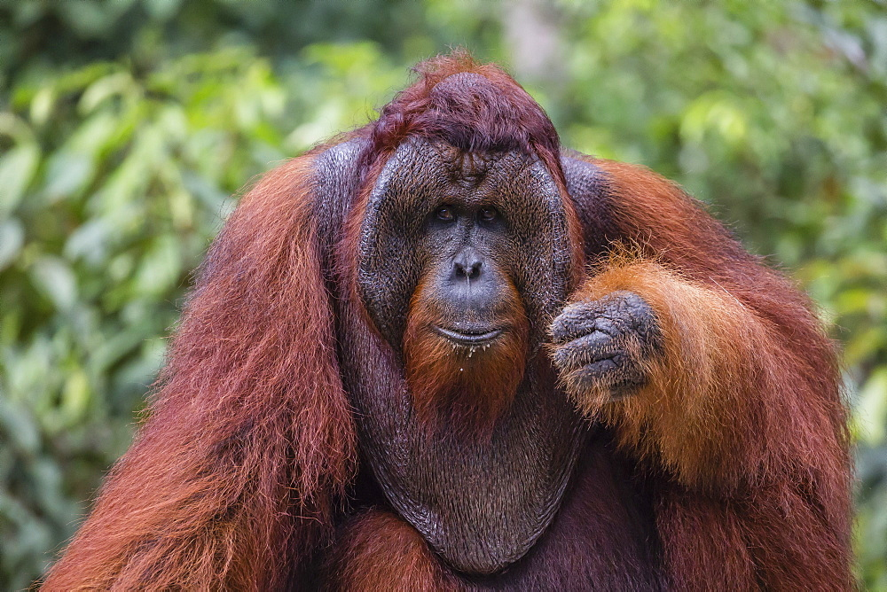 Reintroduced flanged male orangutan (Pongo pygmaeus), Camp Leakey, Tanjung Puting National Park, Borneo, Indonesia, Southeast Asia, Asia
