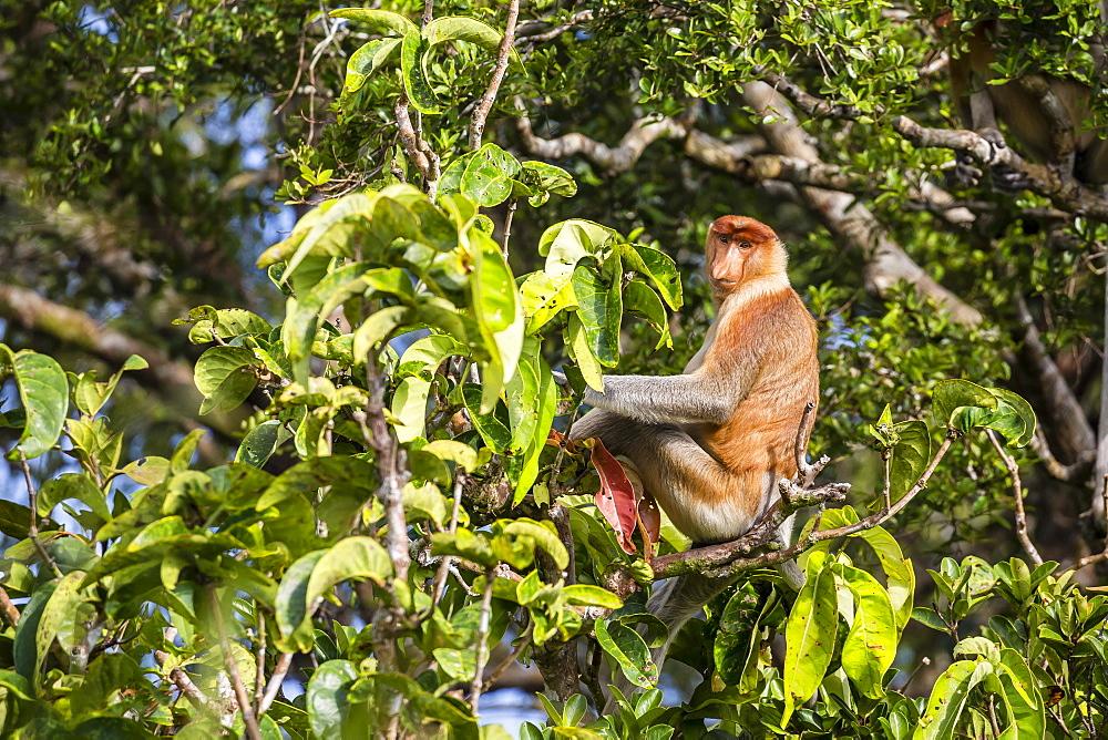 Adult male proboscis monkey (Nasalis larvatus), endemic to Borneo, Tanjung Puting National Park, Borneo, Indonesia, Southeast Asia, Asia