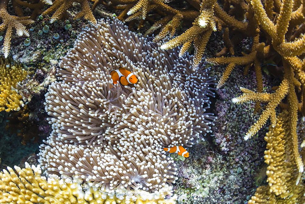 Underwater clownfish in anemone at Pulau Setaih Island, Natuna Archipelago, Indonesia, Southeast Asia, Asia