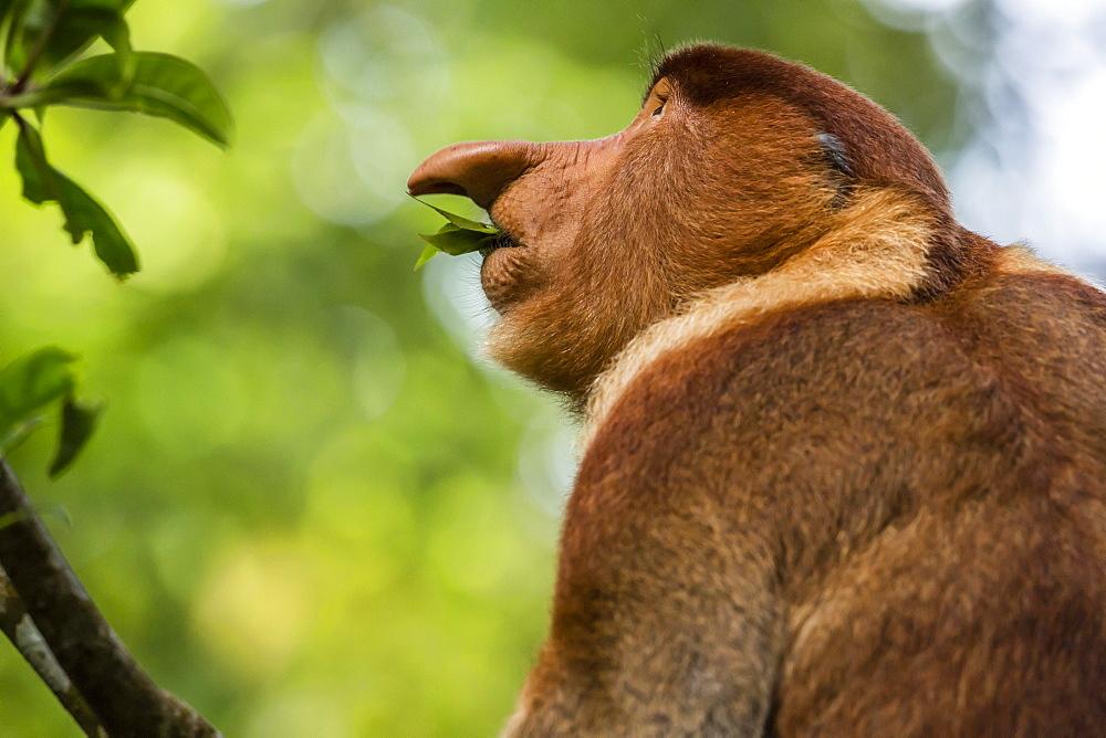 Adult proboscis monke (Nasalis larvatus) foraging in Bako National Park, Sarawak, Borneo, Malaysia, Southeast Asia, Asia