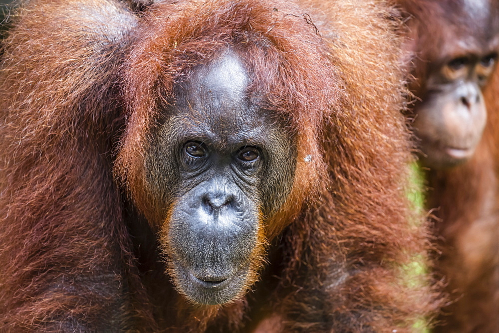 Mother and infant Bornean orangutan (Pongo pygmaeus), Semenggoh Rehabilitation Center, Sarawak, Borneo, Malaysia, Southeast Asia, Asia