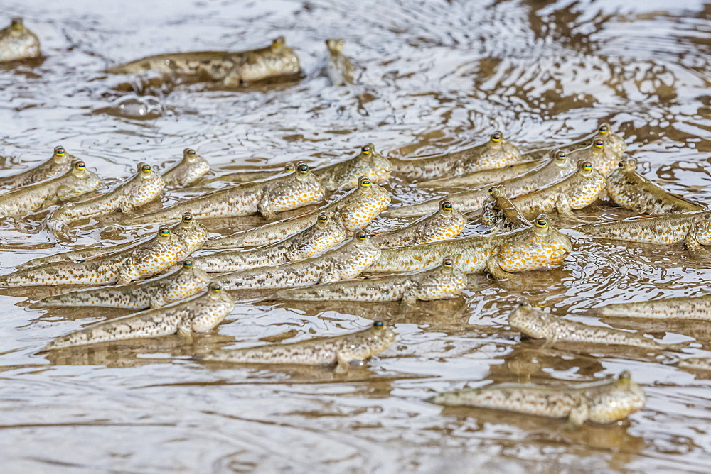 Adult mudskippers (Periophthalmus spp), gathering as the tide rises, Bako National Park, Sarawak, Island of Borneo, Malaysia, Southeast Asia, Asia