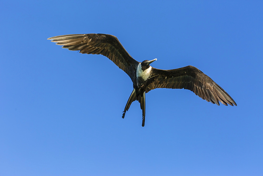 Adult female magnificent frigatebird (Fregata magnificens), San Gabriel Bay, Espiritu Santo Island, Baja California Sur, Mexico, North America