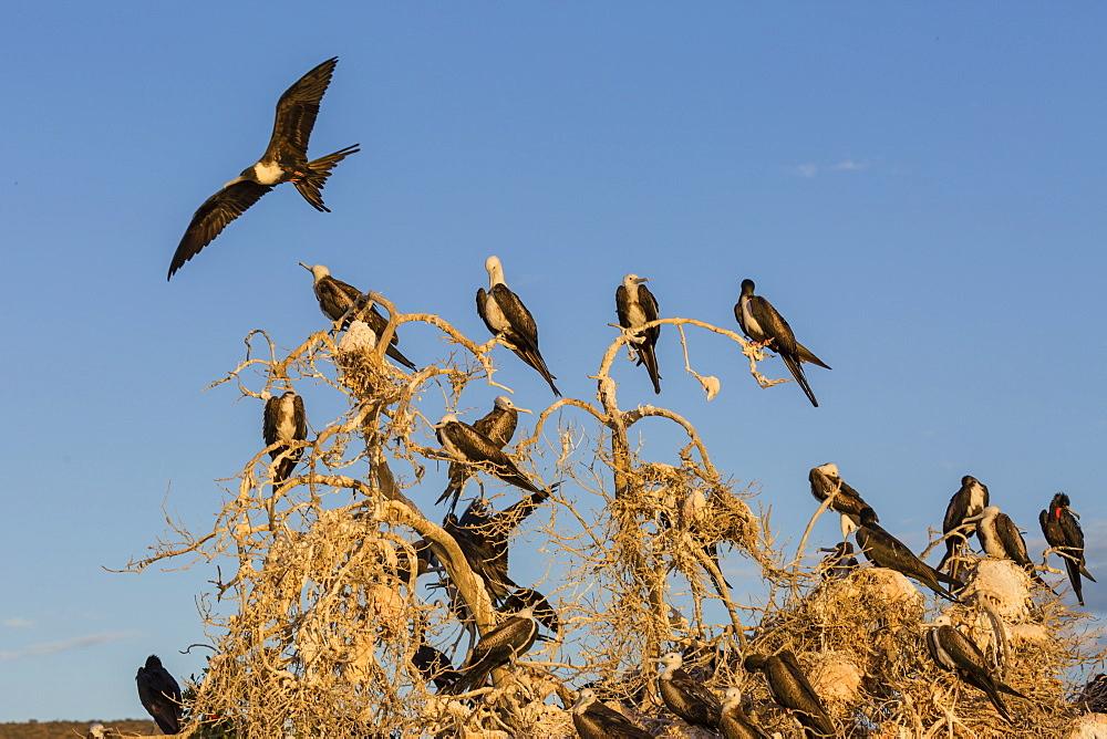 Magnificent frigatebirds (Fregata magnificens), San Gabriel Bay, Espiritu Santo Island, Baja California Sur, Mexico, North America