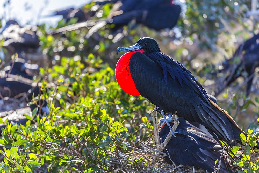 Adult male magnificent frigatebird (Fregata magnificens), San Gabriel Bay, Espiritu Santo Island, Baja California Sur, Mexico, North America - 1112-3151
