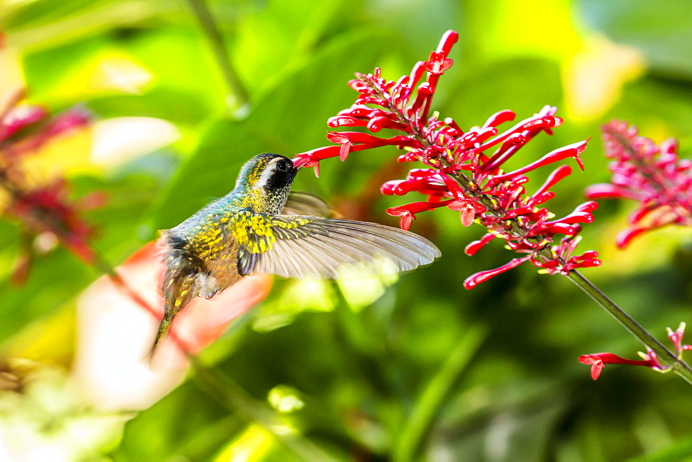 Adult male Xantus's hummingbird (Hylocharis xantusii), Todos Santos, Baja California Sur, Mexico, North America