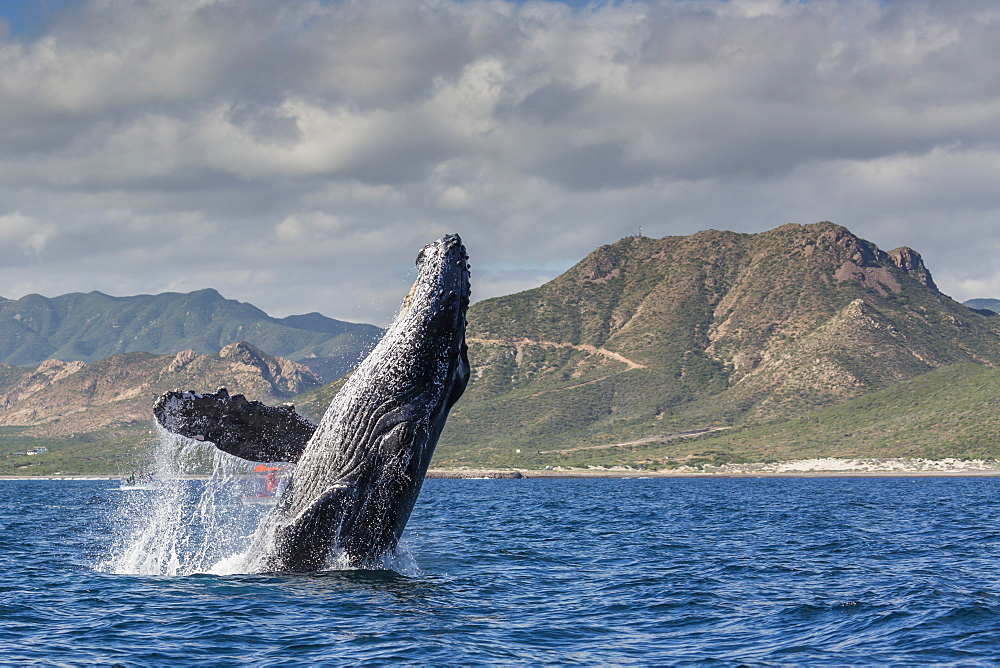 Adult humpback whale (Megaptera novaeangliae), breaching in the shallow waters of Cabo Pulmo, Baja California Sur, Mexico, North America