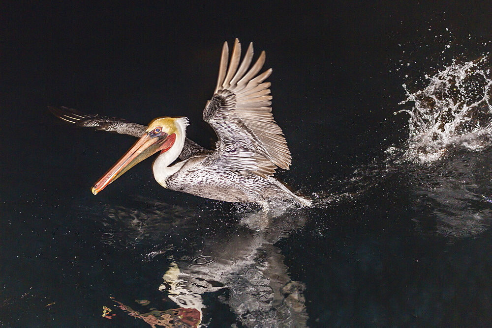 An adult brown pelican (Pelecanus occidentalis) at night near Isla Santa Catalina, Baja California Sur, Mexico, North America