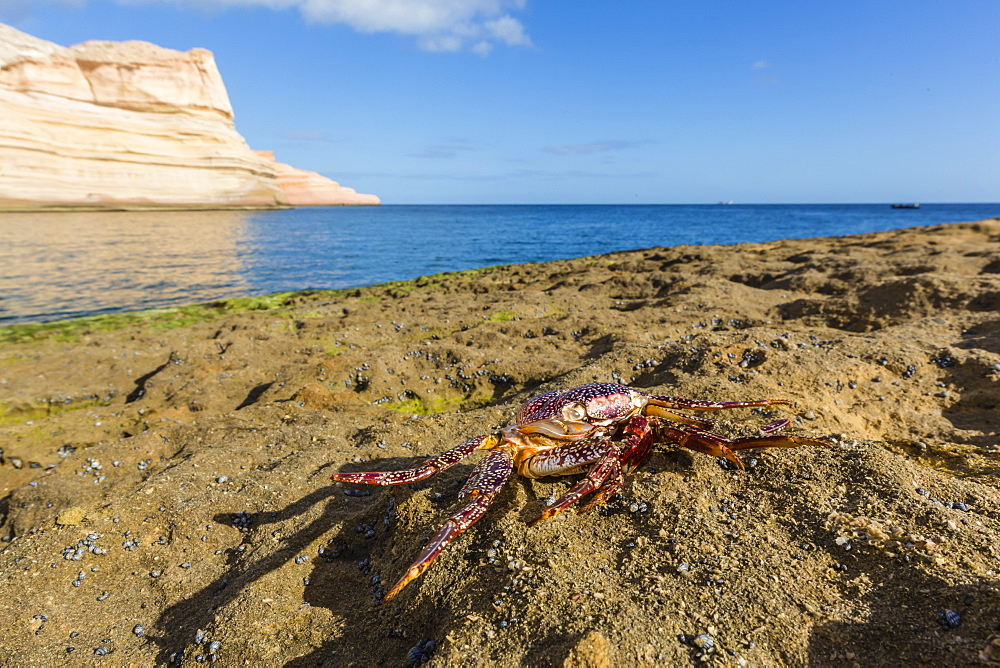 Sally lightfoot crab (Grapsus grapsus), moulted exoskeleton at Punta Colorado, Baja California Sur, Mexico, North America