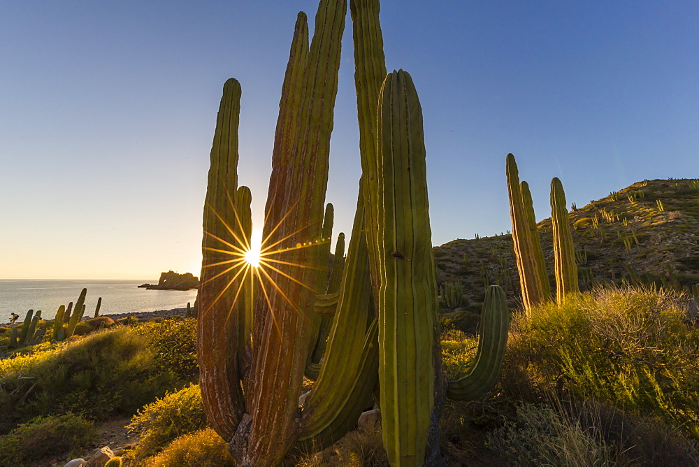 Cardon cactus (Pachycereus pringlei) at sunset on Isla Santa Catalina, Baja California Sur, Mexico, North America