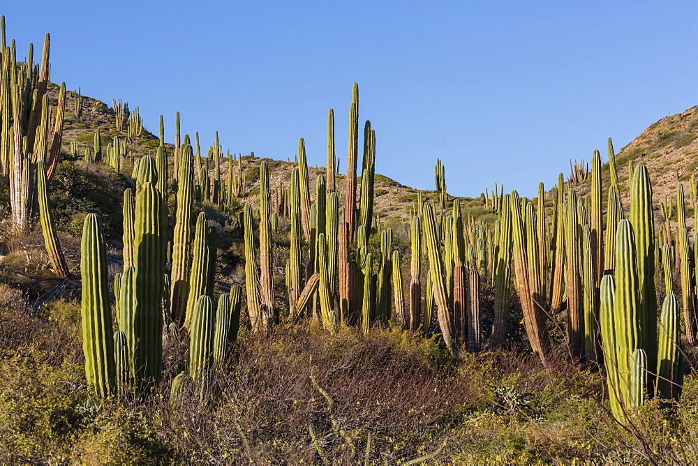 Cardon cactus (Pachycereus pringlei), on Isla Santa Catalina, Baja California Sur, Mexico, North America