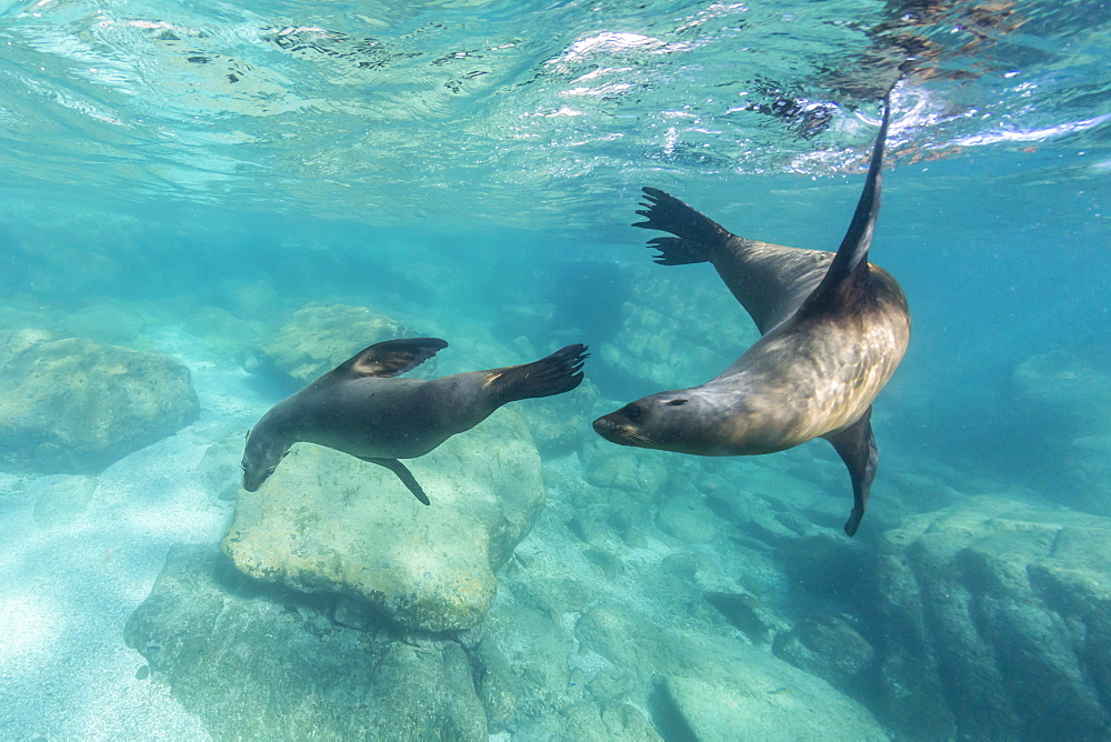California sea lions (Zalophus californianus), playing underwater at Los Islotes, Baja California Sur, Mexico, North America