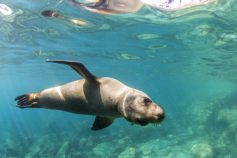 Curious California sea lion (Zalophus californianus) underwater at Los Islotes, Baja California Sur, Mexico, North America