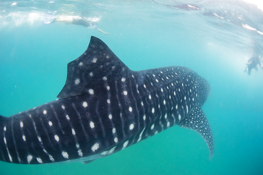 Whale shark (Rhincodon typus), underwater with snorkelers off El Mogote, near La Paz, Baja California Sur, Mexico, North America