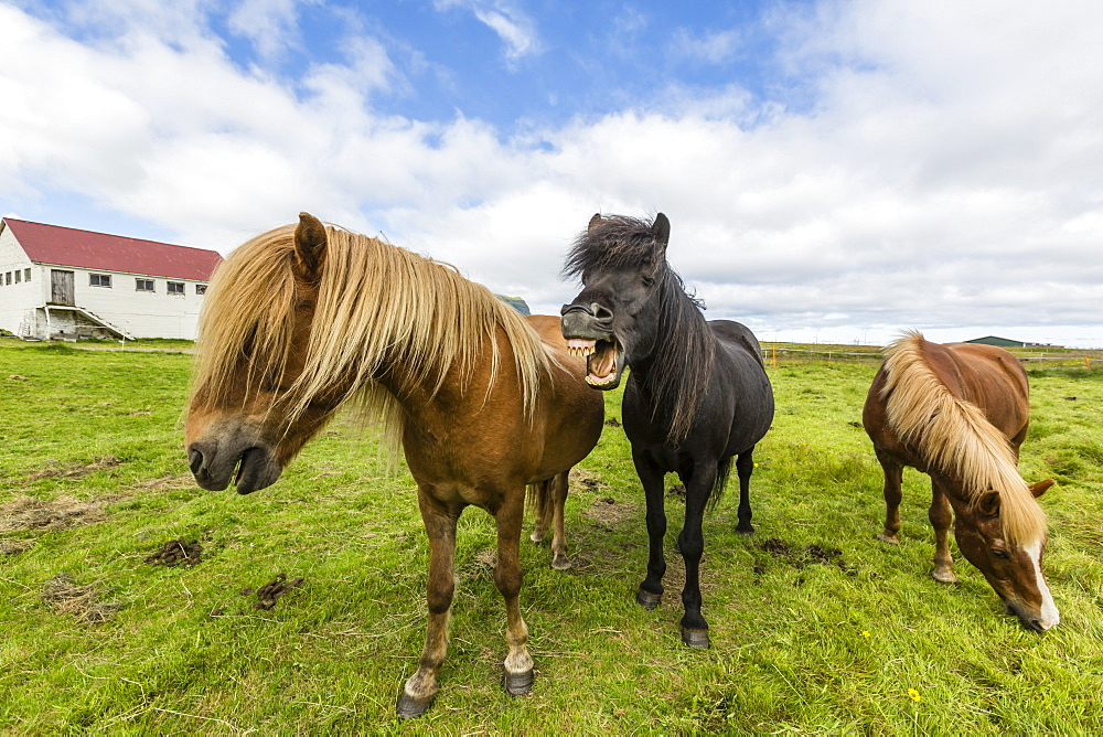 Adult Icelandic horses (Equus ferus caballus), on a farm on the Snaefellsnes Peninsula, Iceland, Polar Regions